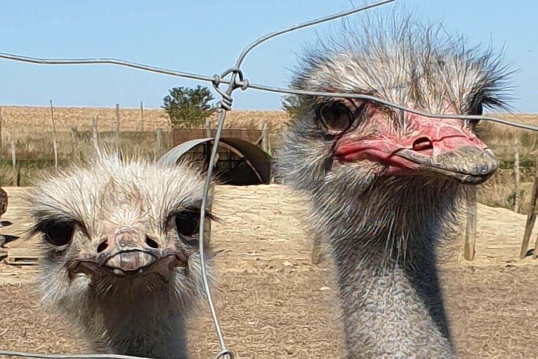 Bezoek de aan de struisvogelfarm bij de reis auxerre moret